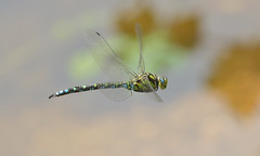Southern Hawker in flight (KHR Images) Tags: southernhawker mature male aeshnacyanea inflight flying sandy bedfordshire rspb insect dragonfly wildlife nature nikon d500 kevinrobson khrimages