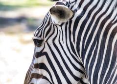 Zebra close up (Matthew P Sharp) Tags: animal zoo calgaryzoo calgary alberta 70200f4l 70200