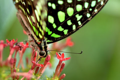 Tailed Jay (pallab seth) Tags: tailedjay graphiumagamemnon swallowtail tropicalbutterfly macro bokeh nature underside sensationalbutterfliesexhibition naturalhistorymuseum tamronaf90mmf28dispam11macrolens nikon macroextreme d7000 2014 papilionidae