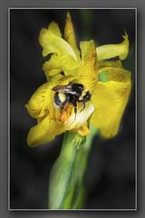 Bumble Bee on Flag Iris