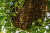 Abejas en naranjo (Jesús RC) Tags: abejas panal apis mellifera naranjo cuba пчелы куба апельсин