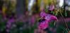 PINK.BEE (TARmAdAmA) Tags: forest bee pink biene bokeh wald niederrhein 23mmmacro nature emmerichamrhein fujix100macro fujicolors newphotographer makro blume garten