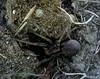 Grosse araignée (voyageursdumonde1) Tags: nature france2017 araigné araignée prédateur invertébré
