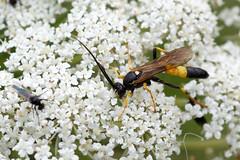 Ichneumon species (Steve Balcombe) Tags: insect wasp ichneumonidae ichneumon suspiciosus stramentor black yellow wildcarrot daucus carota rspb greylake somerset levels uk