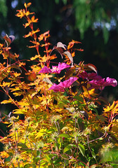 High colour:  31.8.17. (VolVal) Tags: dorset bournemout boscombe garden climber clematis tree acer colouredleaves august flowers
