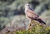 Buzzard / Buizerd (rob.bremer) Tags: buizerd buteobuteo buzzard bird nature natuur duinen dunes duinlandschap noordhollandsduinreservaat noordholland nederland netherlands castricum infiltratiegebied wildlife outdoor