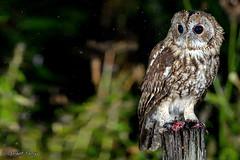 Tawny Owl (parry101) Tags: south wales southwales nature geraint parry geraintparry wildlife sigma sigma150600 150600 150600mm nikond500 d500 animal animals tawny owl owls bird birds prey