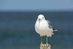 Sturmmöwe (Larus canus) (explored) (kalakeli) Tags: sturmmöwe laruscanus commongull gulls möwen birds vögel august 2017 amrum nordsee meer ocean northernsea