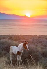 WIld Colt with the One blue eye.  Priceless (Jami Bollschweiler Photography) Tags: wild horse onaqui herd colt west desert one blue eye sunset landscape wildlife photography great basin coth5