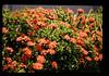 木の花 (JIRCAS) Tags: タイ 植生 achara thailand