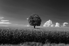 """The Tree - August 2017"" (helmet13) Tags: d800e raw bw thetree landscape chestnut meadow cornfield agriculture sky clouds peaceful aoi heartaward peaceaward world100f platinumheartaward platinumpeaceaward 200faves level3worldpeacehalloffame"
