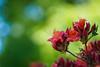 Rhododendron (2) (Karsten Gieselmann) Tags: 40150mmf28 em5markii europa grün mzuiko microfourthirds natur olympus pflanzen rhododendron rot schweden sofiero strauch sträucher sweden trelleborg bush bushes green kgiesel m43 mft nature red