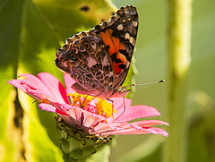 Painted Lady on a zinnia (Thomas Muir) Tags: vanessacardui butterfly tommuir woodcounty ohio perrysburg insect flower fall nikon d800 fauna flora outdoor 200400mm