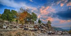 Κτηνοτροφία στο Δολό Pastoralism at Dolo (Dimitil) Tags: pogoni epirus nature dolo pastoral pastoralism goats troop sheep sky clouds landscape church stone stonechurch