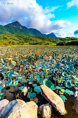 Lotus at the end of harvest (Ngoc Hoang Photography) Tags: