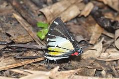 Pathysa stratiotes (Pasha Kirillov) Tags: malaysia geo:country=malaysia borneo sabah kinabalunationalpark lepidoptera taxonomy:order=lepidoptera papilionidae pathysastratiotes taxonomy:binomial=pathysastratiotes