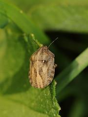EOS 7D Mark II_052749 (gertjan.kamsteeg) Tags: animal invertebrate bug truebug heteroptera heteropteran insect eurygastertestudinaria scutelleridae tortoise tortoisebug