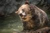 Shake, Rattle, & Roll (helenehoffman) Tags: omnivore brownbear ursusarctoshorribilis wildlife grizzlybear nature pool ursus sandiegozoo conservationstatusleastconcern ursusarctos carnivore mammal animal bear