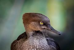 I wish common sense... (knoxnc) Tags: bokeh nikon northamerica hoodedmerganser bird sunlight closeup d7200 nature expression alittlebeauty coth5 ngc npc ime
