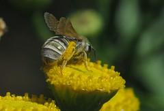 Halictus seladonius f - 20 VIII 2017 (el.gritche) Tags: hymenoptera france 40 halictidae halictus seladonius halictusseladonius seladonia female tanacetumvulgare asteraceae