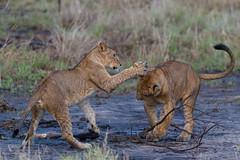 Lion Cubs Boxing (Hector16) Tags: africa littlechemchem safari predator bigcat outdoors tanzania pantheraleo wildlife wilderness lion manyararegion tz ngc npc