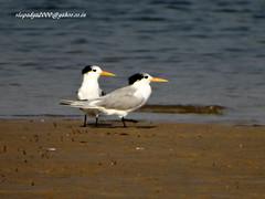 DSC00828 Lesser Crested Tern (Sterna bengalensis) (vlupadya) Tags: greatnature animal bird fauna aves indianbirds lessercrested tern thalasseus kundapura karnataka
