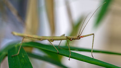Leaf me alone (Andrew Laws) Tags: stickinsect leaves leaf sony alpha mirrorless a6000 ilce6000 meyeroptik görlitz domiplan 50mm f28 nature uk wildlife bamboo dof depth defocus bokeh animal antennae