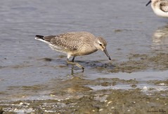 red knot (S. J. Coates Images) Tags: shorebird wader wading red knot presquileprovincialpark lakeontario