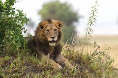 Lion stare (Hector16) Tags: africa littlechemchem safari predator tarangirenationalpark wildlife bigcat outdoors tanzania pantheraleo chemchem wilderness lion manyararegion tz ngc npc