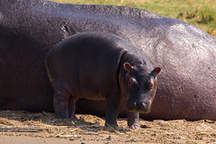It's a big world out there (Ring a Ding Ding) Tags: africa equator hippopotamusamphibius kazingachannel lakealbert lakeedward nile uganda animals motherandbaby nature safari wildlife katunguru westernregion ngc