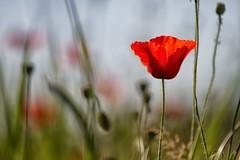 solitudini apparenti (mat56.) Tags: papaveri poppies papavero poppie fiori flowers campagna sancolombanoallambro milano lombardia pianura padana prato lawn rosso red erba grass antonio romei mat56 natura nature bokeh