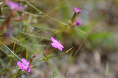 Pink  treasures (dfromonteil) Tags: flowers fleurs rose vert pink green macro bokeh nature plant plante lumière light