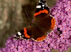 Klart för start./Ready to start. (ros-marie) Tags: fs170903 start fotosondag butterfly fjäril cho papillon schmertellin