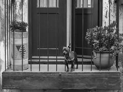 Entre Barrotes (diegogm.es) Tags: olympus omd em5mkii em5 omdrevolution mirrorless evil microfourthirds micro43 microcuatrotercios street dog perro calle balcon balcony oporto portugal porto
