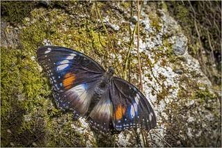 Australian Butterfly