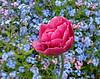 Don't Forget the Springtime Flowers (Colorado Sands) Tags: flowers garden sandraleidholdt europe bucharest romania romanian flower springtime blossom forgetmenot tulip springflower