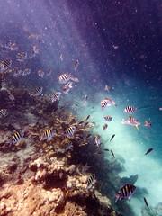 Sergeant majors and others (Ed Rosack) Tags: looekey usa underwater ocean thekeys water ©edrosack reef fish florida bigpinekey floridakeys