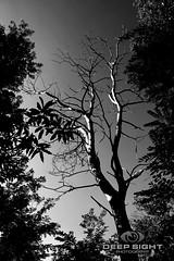 Tree (Deep Sight Photography) Tags: albero alberi foresta bosco solitario spoglio foglie tree trees leaves leaf bush wood woodland alone lonely lonesome boscaglia cespuglio monocromo cielo