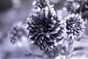 film (La fille renne) Tags: film analog lafillerenne 35mm minoltasrt303b 50mmf17 kodachrome25 kodak expiredfilm expired blackandwhite monochrome flowers bokeh