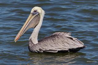 Brown Pelican, Florida, FL IMG_2701