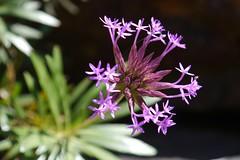 Starburst  .  .  . (ericrstoner) Tags: chrestaangustifolia asteraceae cachoeiraalmécegasi chapadadosveadeiros cerrado
