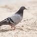 Pigeon Time!