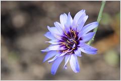 Blaue Rasselblume (Catananche caerulea) (Maggi_94) Tags: blauerasselblume rasselblume catananchecaerulea rasselblumen catananche korbblütler asteraceae amorpfeil boga botanischergartenhallesaale