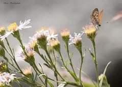Mariposa Copper (sbuckinghamnj) Tags: copper mariposacopper grandteton grandtetonnationalpark wyoming butterfly insect