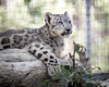 Snow Leopard Cub (ToddLahman) Tags: snowleopard snowleopardcub cub cubs baby beautiful mammal male portrait photooftheday outdoors canon7dmkii canon canon100400 closeup