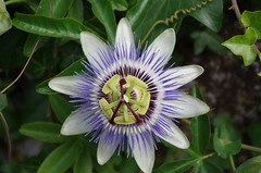 Charente Maritime (Isabelle Odent) Tags: nouvelleaquitaine charentemaritime île aix ponant fleur passifloraceae passiflore