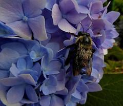 Bee on Hydrangea (mudder_bbc) Tags: hydrangea bee bumblebee flowers purple bridgeofflowers shelburnefalls massachusetts footbridge explore
