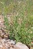CAE005677a (jerryoldenettel) Tags: 170916 2017 arabela asterids deserttobacco lincolnco nm nicotiana nicotianatrigonophylla solanaceae solanales tobacco wildflower flower
