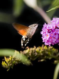 Hummingbird Hawk-Moth  (explored 2017-09-20)