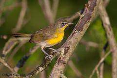 Yellow-breasted Chat (Matt Shellenberg) Tags: yellow yellowbreasted chat warbler yellowbreastedchat